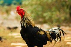 泰国的雄鸡 免版税库存照片