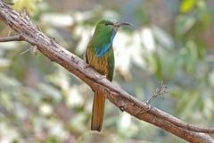 泰国的青有胡子的食蜂鸟Nyctyornis athertoni鸟 免版税库存照片