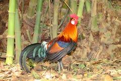 泰国的鸡 库存照片