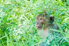 泰国的猴子 免版税库存照片