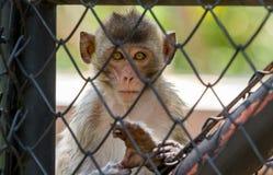 泰国的猴子 图库摄影