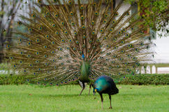 泰国的绿孔雀 图库摄影