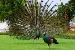 泰国的绿孔雀 免版税库存图片