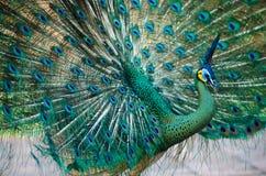 泰国的绿孔雀 库存照片