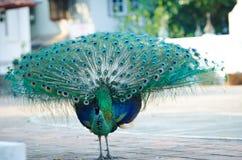泰国的绿孔雀 库存图片