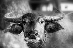 泰国的水牛 库存图片