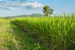 泰国的绿色米领域 免版税库存照片