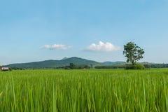 泰国的绿色米领域 图库摄影