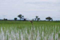 泰国的蜻蜓 库存图片