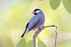 泰国的Java麻雀Java雀科Lonchura oryzivora逗人喜爱的鸟 库存照片