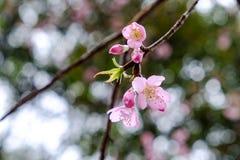 泰国的Sagura花 库存图片