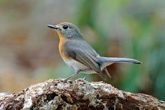 泰国的Tickell ` s蓝色捕蝇器Cyornis tickelliae逗人喜爱的母鸟 免版税库存图片