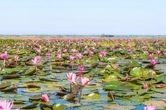 泰国的udonthani的红色莲花领域湖 免版税库存图片