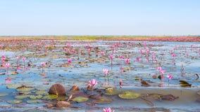 泰国的udonthani的红色莲花领域湖 免版税库存照片