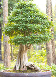 盆景树 库存图片