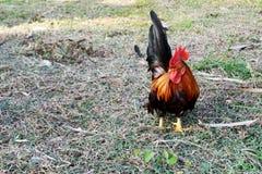 泰国矮小的中央庭院矮脚鸡,公鸡 库存照片