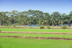 泰国米领域 免版税库存图片