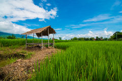 泰国米领域 库存照片