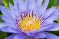 泰国紫色莲花 库存图片