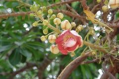 泰国罕见的花& x28; 古炮炮弹Tree& x29; 免版税库存照片