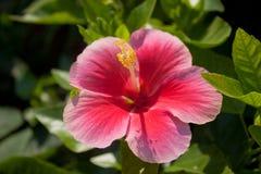 泰国花桃红色颜色在阳光下 图库摄影