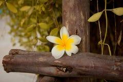 泰国花白色颜色在阳光下 图库摄影