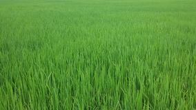 泰国茉莉花的米 免版税图库摄影