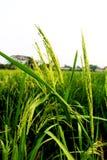 泰国茉莉花米的水稻或耳朵的耳朵在绿色看法的在晚上 库存图片