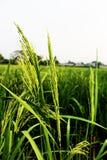 泰国茉莉花米的水稻或耳朵的选择聚焦耳朵在绿色看法的在晚上 免版税库存照片