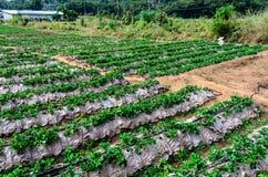 泰国草莓农场。 图库摄影
