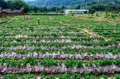 泰国草莓农场 图库摄影