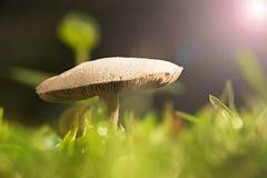 泰国蘑菇 免版税库存图片
