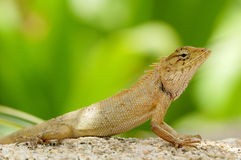 泰国蜥蜴 免版税库存照片