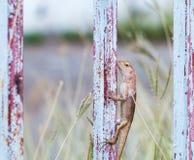 泰国蜥蜴 免版税图库摄影