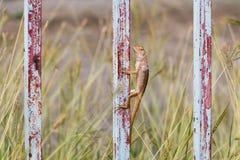 泰国蜥蜴 库存图片