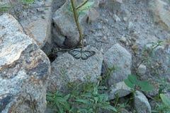 泰国蝴蝶休息在岩石的玻璃状老虎 免版税库存照片