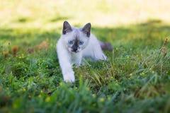 泰国逗人喜爱的小猫狩猎 免版税图库摄影