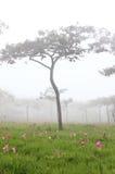 泰国郁金香在森林里 免版税图库摄影