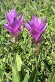 泰国郁金香的开花的明亮的玫瑰 库存照片