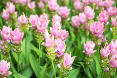 泰国郁金香的秀丽从泰国开花 库存照片