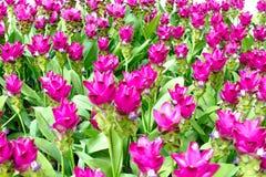 泰国郁金香的秀丽从泰国开花 图库摄影