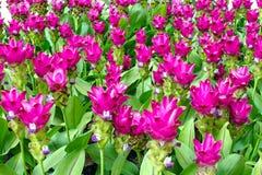 泰国郁金香的秀丽从泰国开花 免版税库存照片