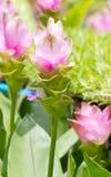泰国郁金香花。 免版税图库摄影