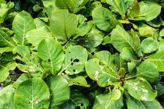 泰国酸值Samet在光下的树叶子 免版税库存照片