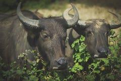 泰国黑色美洲野牛 库存照片