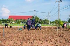 泰国, 2016年11月26日: :花匠种植菜 免版税库存照片