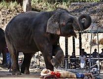 泰国, Chiang Mai,亚洲大象 免版税库存图片