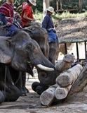 泰国, Chiang Mai,亚洲大象 免版税图库摄影