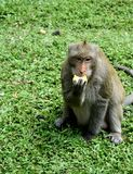 泰国猴子 免版税库存图片