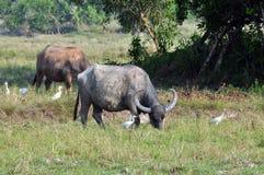 泰国水牛 免版税库存图片
